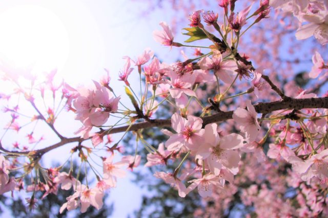 豊橋市の桜