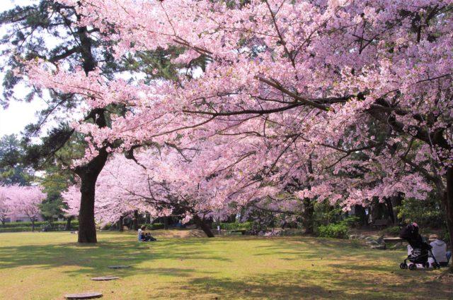 豊橋市の公園の桜